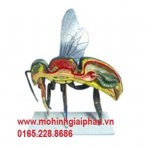Mô hình giải phẫu ong