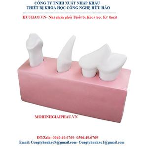 Mô hình giải phẫu răng chó 3 phần