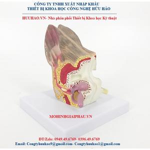 Mô hình giải phẫu tai chó