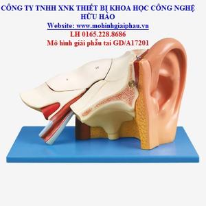 Mô hình giải phẫu tai GD/A17201