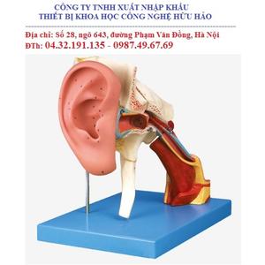 Mô hình giải phẫu tai mở rộng GD/17202