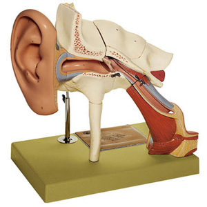 Mô hình giải phẫu tai