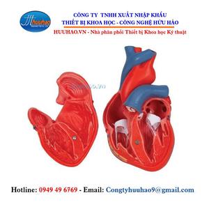 Mô hình giải phẫu tim 2 phần