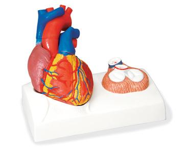 Mô hình giải phẫu tim