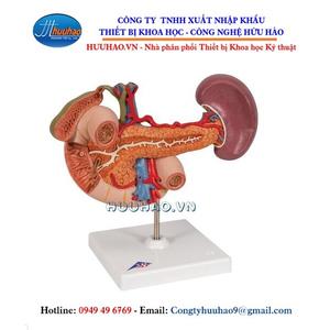 Mô hình giải phẫu tụy, lách