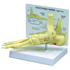 Mô hình giải phẫu xương bàn chân