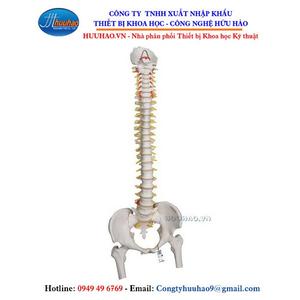Mô hình giải phẫu xương cột sống, dây thân kinh, xương chậu, xương đùi