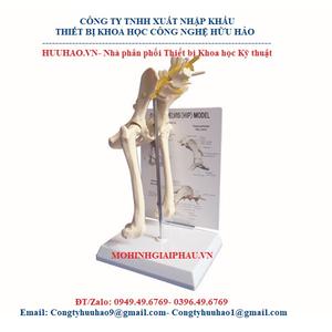 Mô hình giải phẫu xương khớp hông của chó