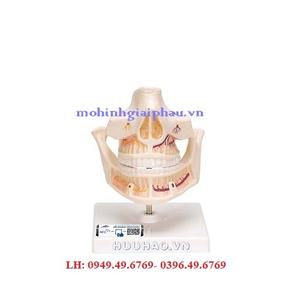 Mô Hình Hàm Răng – 1001247 – 3B