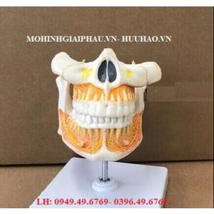 Mô hình hàm răng người lớn