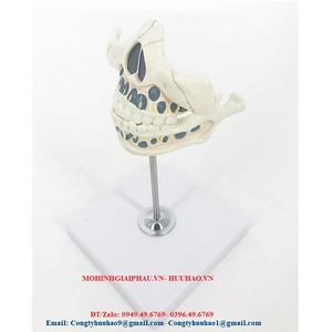 Mô hình hàm răng trẻ em