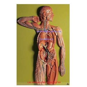 Mô hình hệ bạch huyết