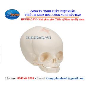 Mô hình hộp sọ thai nhi