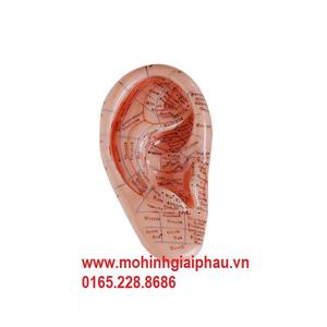 Mô hình huyệt đạo tai 12cm