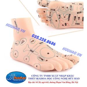 Mô hình huyệt vị chân
