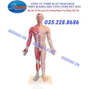 Mô hình huyệt vị và cơ trên cơ thể người cao 178 cm
