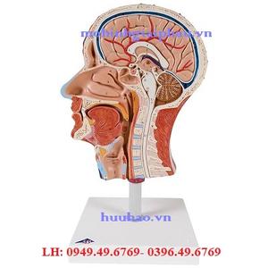 Mô hình mặt cắt đầu và cơ mặt