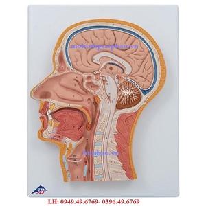 Mô hình mặt cắt dọc giữa đầu