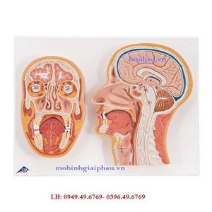 Mô hình mặt cắt trước và giữa đầu
