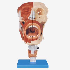 Mô hình mũi, miệng, hầu, họng