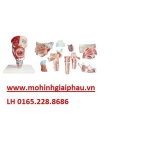Mô hình giải phẫu mũi, miệng, cổ họng