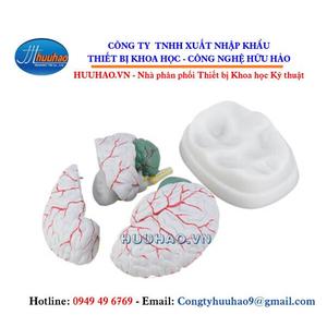 Mô hình não người và động mạch não 8 phần