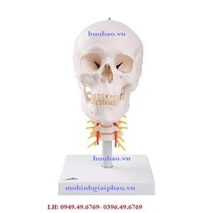 Mô hình sọ người trên xương sống cổ