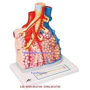 Mô hình tiểu thùy phổi và mạch máu