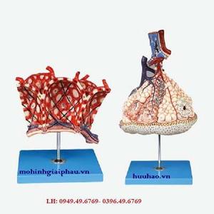 Mô hình tiểu thùy phổi và phế nang