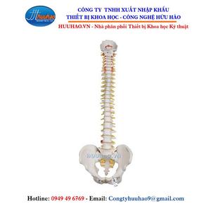 Mô hình xương cột sống, dây thần kinh, khung xương chậu