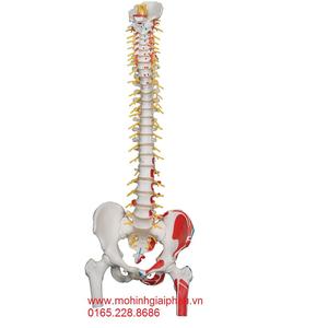 Mô hình xương cột sống, xương chậu, xương đùi 1 bên sơn cơ