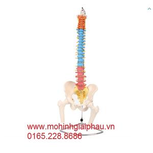 Mô hình xương cột sống, xương chậu, xương đùi sơn màu