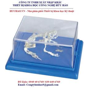 Mô hình xương ếch