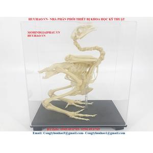 Mô hình xương gà