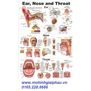 Tranh giải phẫu tai mũi họng 42*29cm