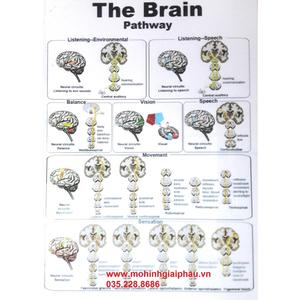 Tranh bộ não người 42*29cm