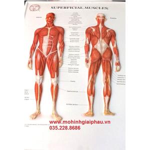 Tranh 3D cơ người toàn thân