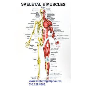 Tranh giải phẫu cơ và xương người toàn thân 42*29cm