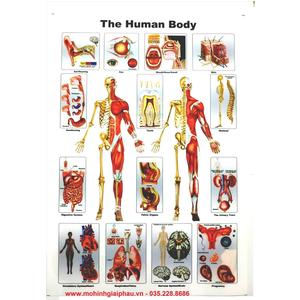 Tranh giải phẫu cơ thể người