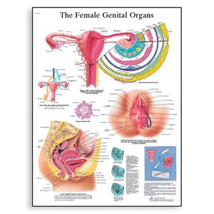 Tranh giải phẫu cơ quan sinh dục nữ