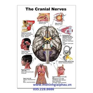 Tranh giải phẫu dây thần kinh hộp sọ