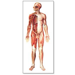 Tranh giải phẫu hệ thần kinh (mặt trước)