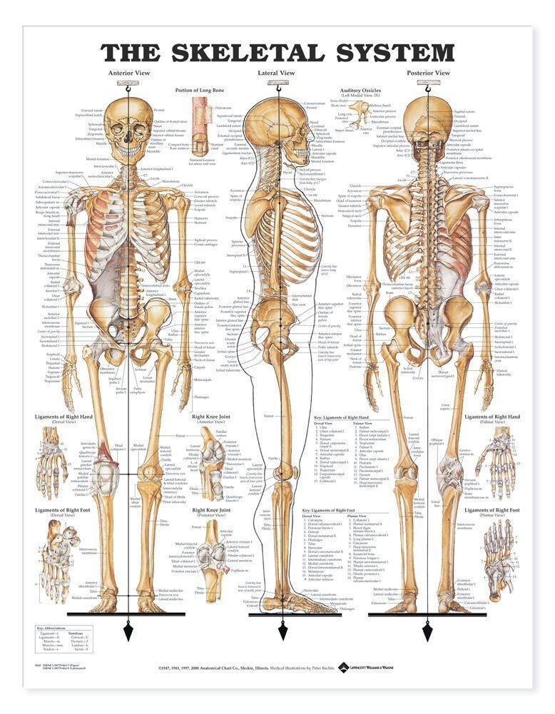 Tranh giải phẫu hệ xương