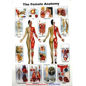 Tranh giải phẫu cơ thể nữ