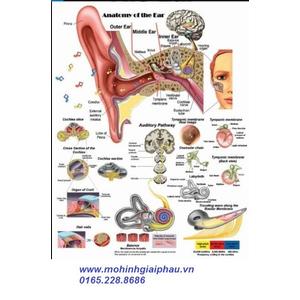 Tranh giải phẫu tai