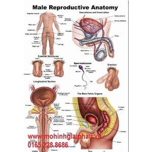 Tranh hệ sinh dục nam