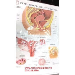 Tranh 3D hệ sinh dục nữ