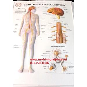 Tranh giải phẫu hệ thần kinh 3D