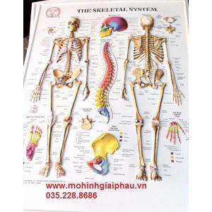 Tranh 3D bộ xương người và xương cột sống 3D