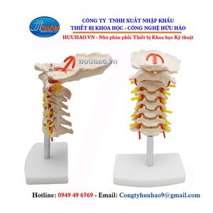 Mô hình cột sống cổ và động mạch